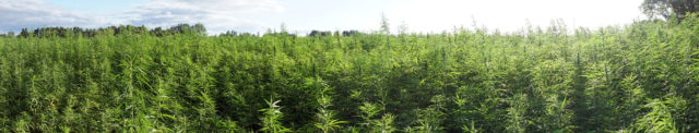 Industrial hemp crop hail