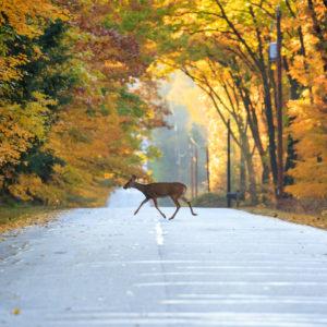 Deer crossing the road in Wisconsin